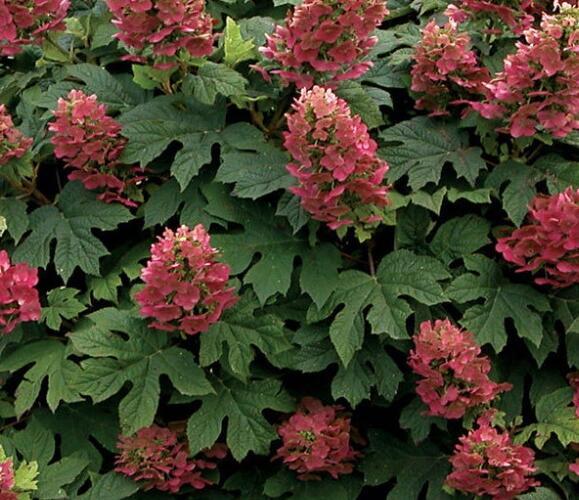 Hortenzie dubolistá 'Amethyst' - Hydrangea quercifolia 'Amethyst'