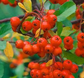 Hlohyně šarlatová 'Red Cushion' - Pyracantha coccinea 'Red Cushion'