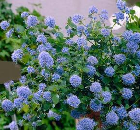 Latnatec 'Blue Saphire' - Ceanothus 'Blue Saphire'