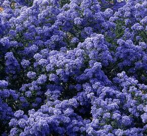 Latnatec 'Puget Blue' - Ceanothus 'Puget Blue'