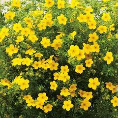 Mochna křovitá 'Bella Lindsey' - Potentilla fruticosa 'Bella Lindsey'