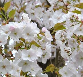 Višeň pilovitá 'Sunset Boulevard' - Prunus serrulata 'Sunset Boulevard'