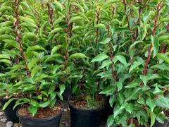 Bobkovišeň portugalská - Prunus lusitanica