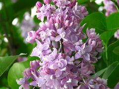Šeřík obecný 'Pamiec Wawilowie' - Syringa vulgaris 'Pamiec Wawilowie'