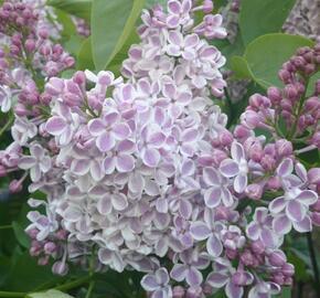 Šeřík obecný 'Lila Wonder' - Syringa vulgaris 'Lila Wonder'