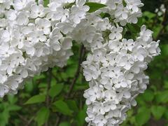 Šeřík obecný 'Lebioduszka' - Syringa vulgaris 'Lebioduszka'