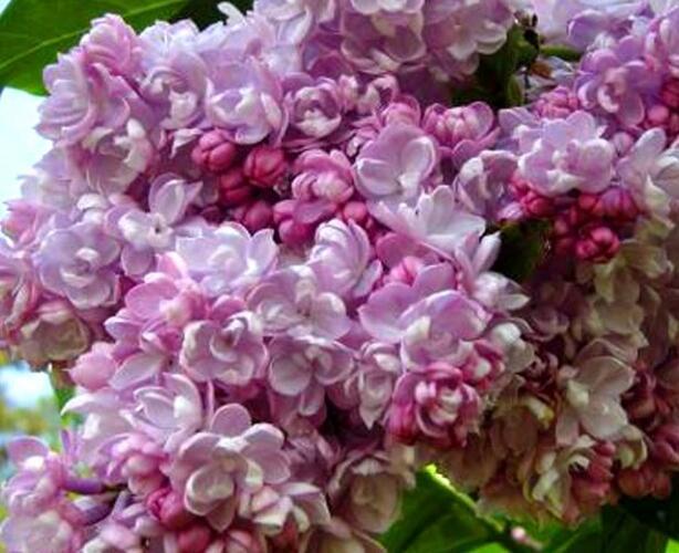 Šeřík obecný 'Kolcoznica' - Syringa vulgaris 'Kolcoznica'