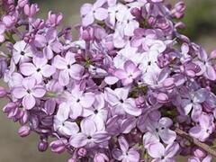 Šeřík obecný 'Hortensja' - Syringa vulgaris 'Hortensja'