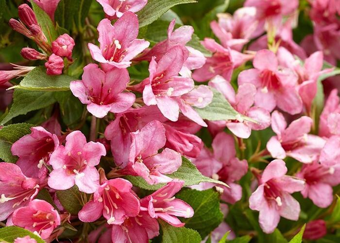 Vajgélie zkřížená 'Picobella Rosa' - Weigela hybrida 'Picobella Rosa'