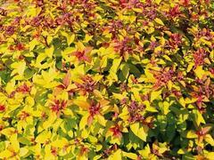 Tavolník japonský 'Merlo® Gold' - Spiraea japonica 'Merlo® Gold'