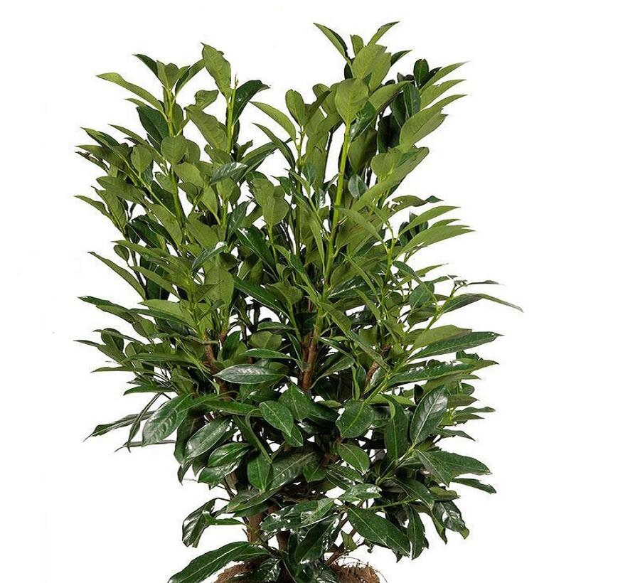 Bobkovišeň lékařská 'Elly' - Prunus laurocerasus 'Elly'