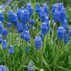 Modřenec 'Blue Magic'® - Muscari aucheri 'Blue Magic'®