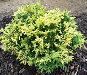 Cypřišek hrachonosný 'Golden Pin Cushion' - Chamaecyparis pisifera 'Golden Pin Cushion'