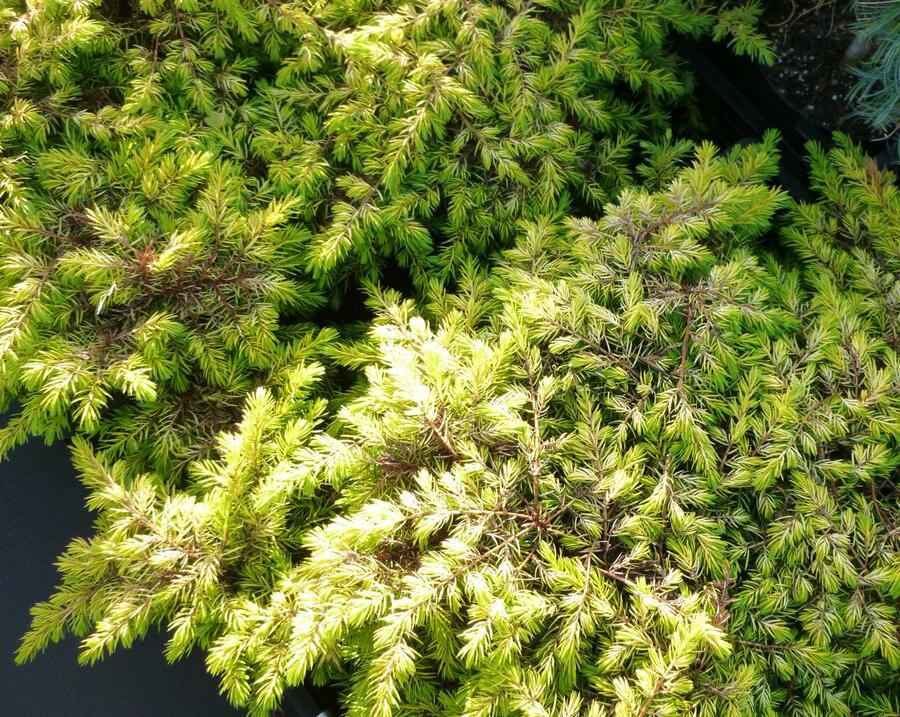 Jalovec pobřežní 'All Gold' - Juniperus conferta 'All Gold'