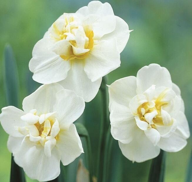 Narcis 'Cheerfulness' - Narcissus 'Cheerfulness'