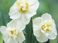 Narcis 'Cheerfulness' - Narcissus 'Cheerfulness'