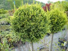 Cypřišovec Leylandův 'Castlewellan Gold' - 4 koule - Cupressocyparis leylandii 'Castlewellan Gold' - 4 koule