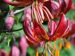 Lilie zlatohlavá 'Claude Shride' - Lilium martagon 'Claude Shride'
