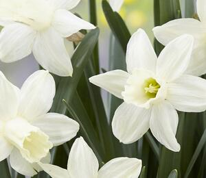 Narcis 'Ice Baby' - Narcissus 'Ice Baby'