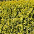 Zerav západní 'Golden Brabant' - Thuja occidentalis 'Golden Brabant'
