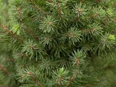Smrk sivý 'Perfecta' - Picea glauca 'Perfecta'