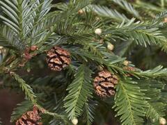 Sekvoje stálezelená - Sequoia sempervirens