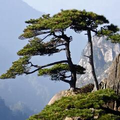 Borovice hwangshanensis - Pinus hwangshanensis