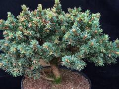 Smrk ztepilý 'Zillertal' - Picea abies 'Zillertal'