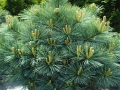 Borovice pyrenejská 'Litomyšl' - Pinus uncinata 'Litomyšl'