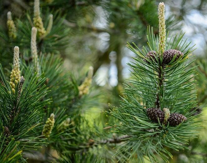 Borovice kleč - Pinus mugo