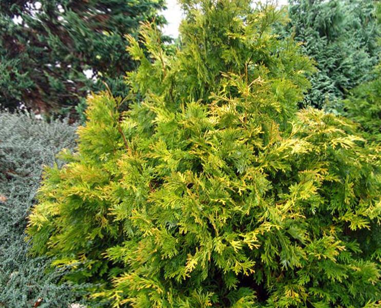 Zeravinec japonský 'Aurea' - Thujopsis dolabrata 'Aurea'