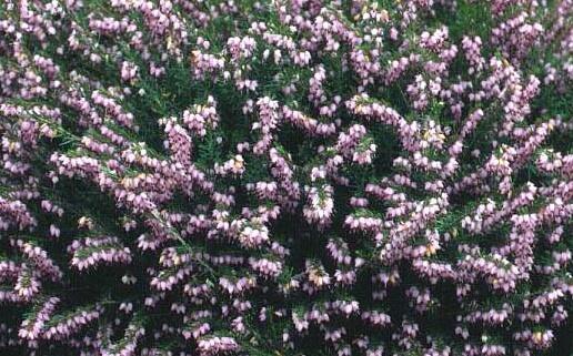 Vřesovec darlejský - Erica darleyensis