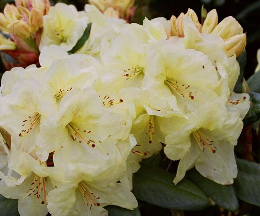 Pěnišník 'Goldinetta' - Rhododendron (R) 'Goldinetta'