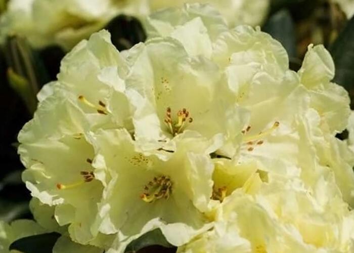 Pěnišník 'Marianne' - Rhododendron 'Marianne'