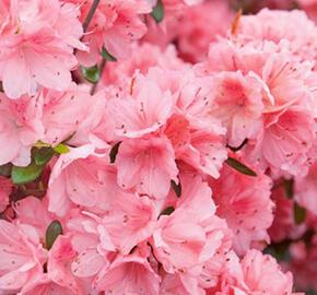 Azalka japonská 'Blaauw's Pink' - Azalea japonica 'Blaauw's Pink'