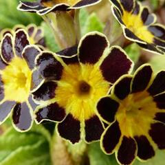 Prvosenka vyšší 'Gold Lace' - Primula elatior 'Gold Lace'