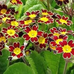 Prvosenka vyšší 'Gold Lace Scarlet' - Primula elatior 'Gold Lace Scarlet'