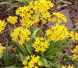Okrasný česnek zlatožlutý - Allium moly