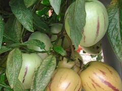 Pepíno 'Pepino Copa®' - Solanum muricatum 'Pepino Copa®'