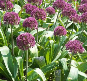 Česnek 'Ostara' - Allium 'Ostara'