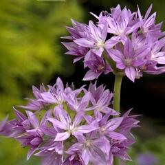 Česnek jednolistý 'Eros' - Allium unifolium 'Eros'