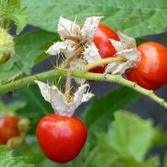 Lilek hulevníkolistý (Rajče liči) 'StarBenas®' - Solanum sisymbriifolium 'StarBenas®'