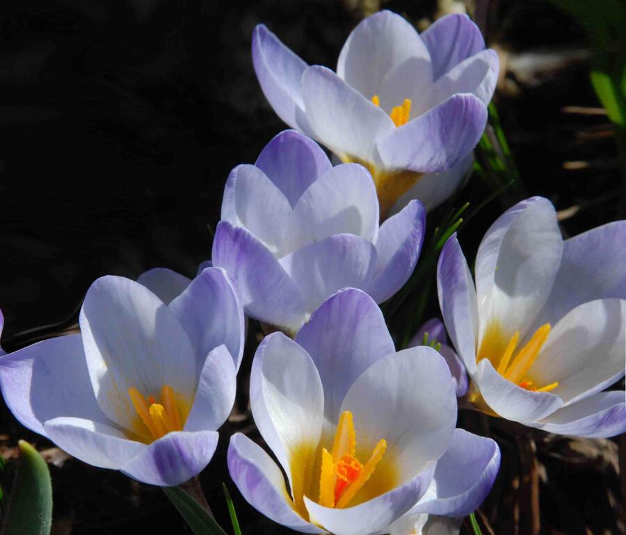 Krokus, šafrán zlatý 'Blue Pearl' - Crocus chrysanthus 'Blue Pearl'
