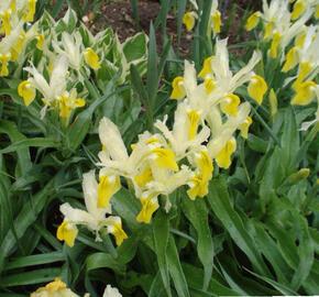 Kosatec bucharský - Iris bucharica