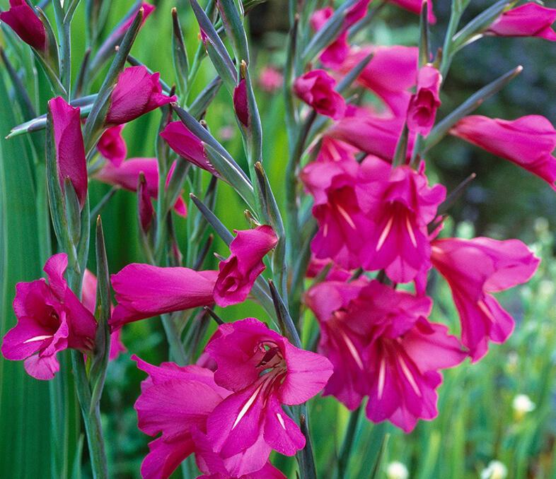 Mečík obecný - Gladiolus byzantinus