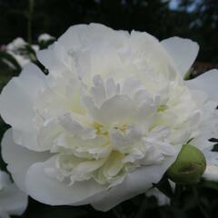 Pivoňka bělokvětá 'Duchesse de Nemours' - Paeonia lactiflora 'Duchesse de Nemours'