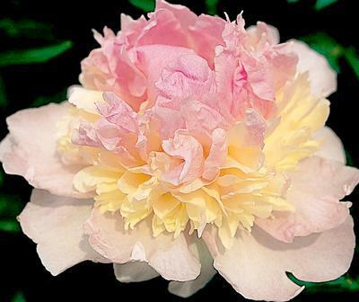 Pivoňka bělokvětá 'Raspberry Sundae' - Paeonia lactiflora 'Raspberry Sundae'