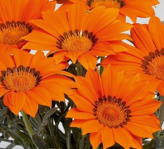 Gazánie zářivá 'Siesta Frosty Orange' - Gazania rigens 'Siesta Frosty Orange'