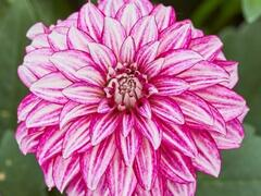 Jiřina 'Lubega Power Cherry Stripes' - Dahlia 'Lubega Power Cherry Stripes'