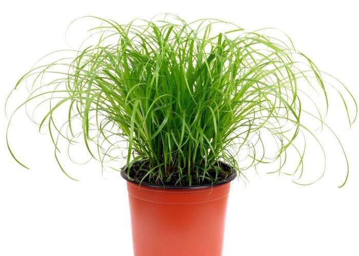 Šáchor střídavolistý 'Zumula' - Cyperus alternifolius 'Zumula'